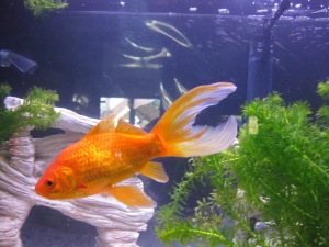 goldfish (4)